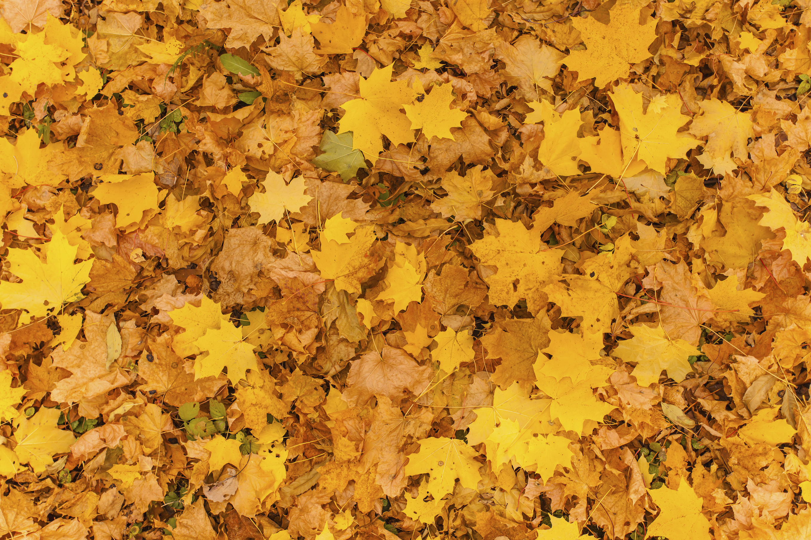 Fall leaves for an autumn background , Colorful background of autumn leaves